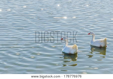 Geese Couple Swimming In The Water