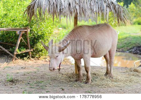 Albino buffalo eating grass on filed in thailand