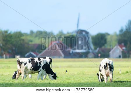 Dutch cow in green meadows in front of windmill in Holland