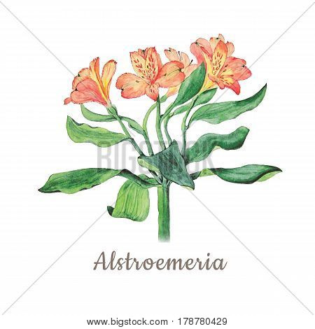 Botanical watercolor illustration of alstroemeria flowers isolated on white background with description. Could be used as decoration for web design cosmetics design package textile