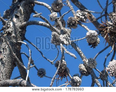 Background of Tree with Pine Cones Covered in Ash against a Bright Blue Sky