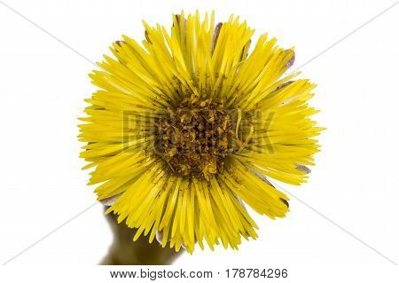 Yellow Flower Of Coltsfoot, Lat. Tussilago Farfara, Isolated On White Background