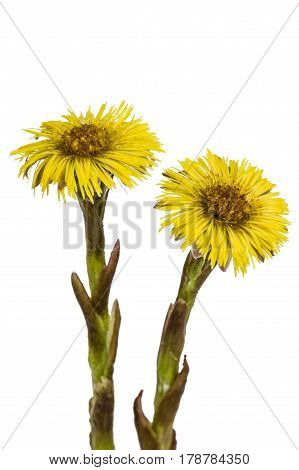 Yellow Flowers Of Coltsfoot, Lat. Tussilago Farfara, Isolated On White Background
