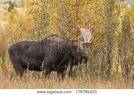 a shiras bull moose in the fall rut in Wyoming