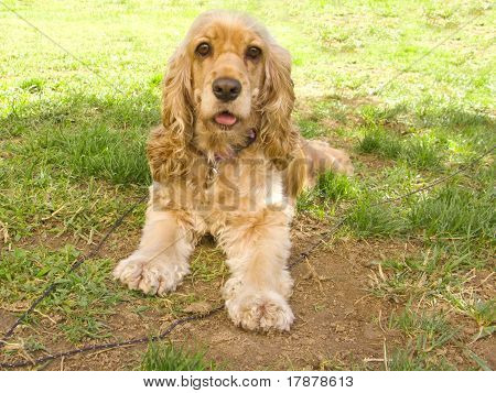 Cute American Cocker Spaniel Puppy