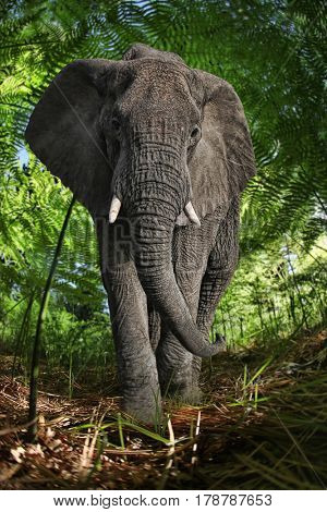 Giant African Elephant in the Bush