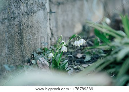 SNOWDROP - Spring flowers in city park