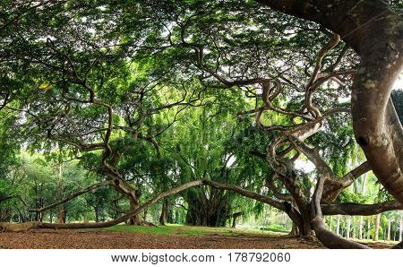 Giant weeping fig orFicus benjamina in Royal Botanical Garden in Peradenia, Sri Lanka
