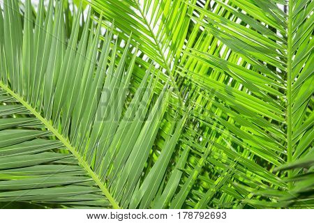 The green palm tree leaves close up