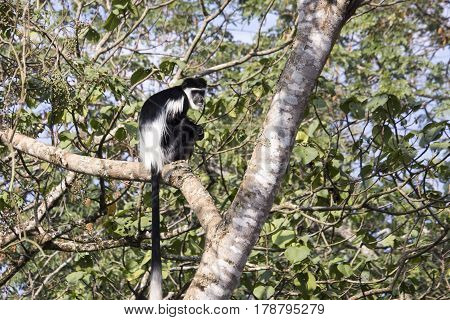 Black and white colobus monkey sitting in tree in Kibale National Park Uganda.