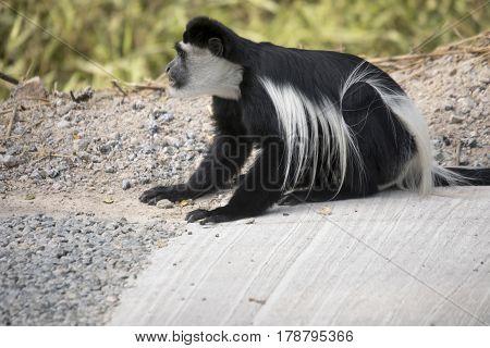 Black and white colobus monkey eating minerals from gravel on road Kibale National Park Uganda.