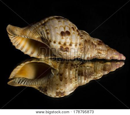 Reflection of a Conch Seashell in a mirror with a black background