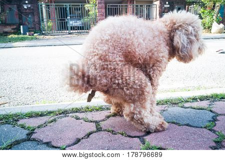 Pet Poodle Dog Pooping On Street