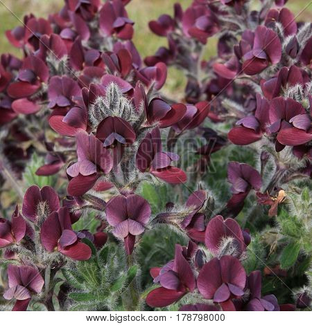 Wine-red Birdsfoot flowers growing in the Everest National Park Nepal.
