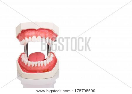 Dentist Orthodontic Teeth Model With Jaw Opened