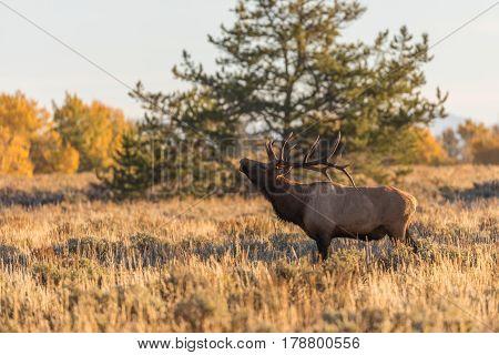 a bull elk in the fall rut in Wyoming