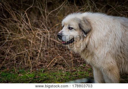 The Stink Eye From A Great Pyrenees Herding Dog with copy space to left