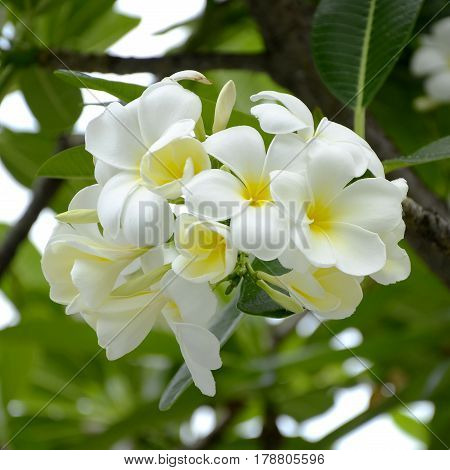 White and yellow Plumeria spp. (frangipani flowers Frangipani Pagoda tree or Temple tree) on soft natural green background.