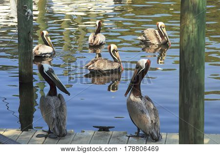 Pelicans. The image was taken in Florida