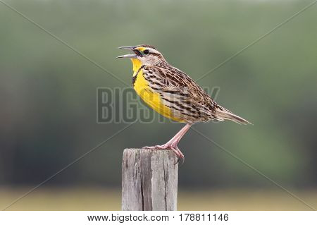 Western Meadowlark (sturnella neglecta) singing from a fence post