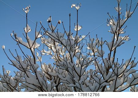Sunlit Snow Covered Tree Branches Against a Blue Sky