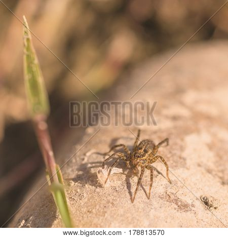 Macro of a running crab spider sitting on a rock with shedded skin at its feet.