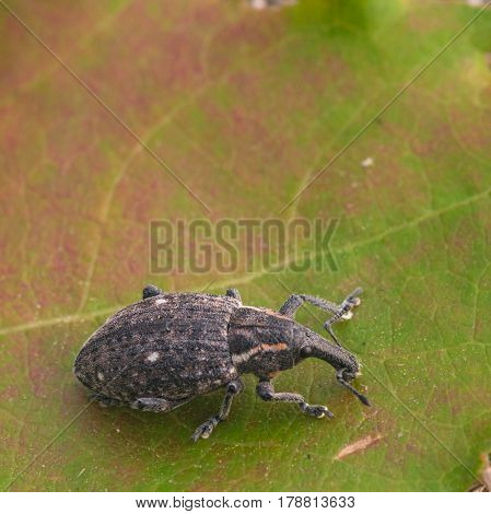 Macro of a Snout Beetle resting on a leaf.