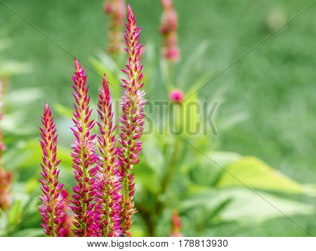 A group of pink flower on blur background