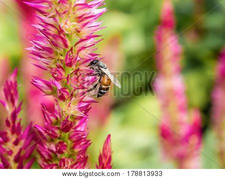 Close up Honey bee collecting honey on pink flower