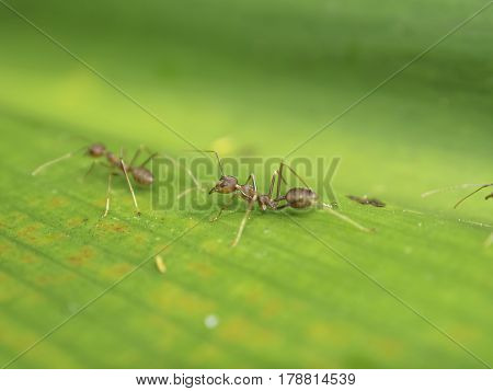 Weaver Ant is communicating with his partner by using antenna during they work