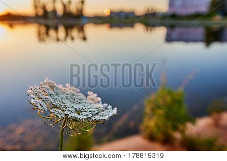 Close up of wild flower on the shore of a lake during sunset