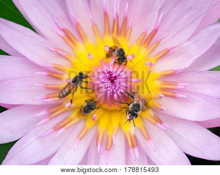 Close up lotus pollen and bee collecting honey