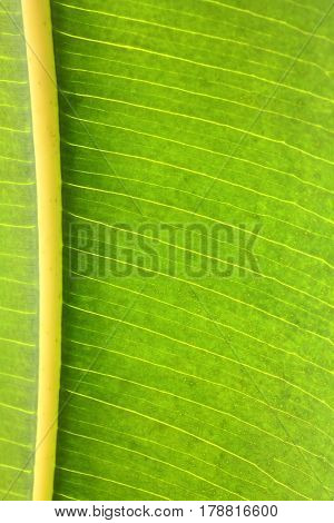 rubber plant green leaf with veins macro background