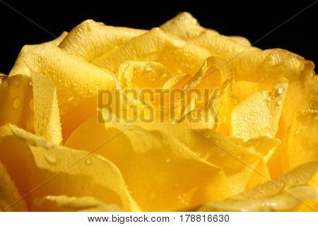 yellow rose with water drops macro