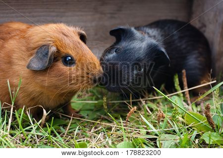 two young guinea pigs in the cage