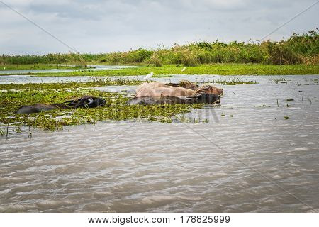 Water buffalo at Phatthalung Southern in Thailand