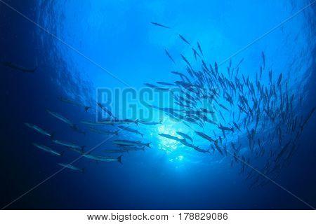 Underwater blue ocean and barracuda fish silhouette