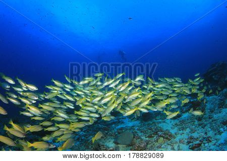 Scuba dive in ocean with school of yellow snapper fish and clear blue water