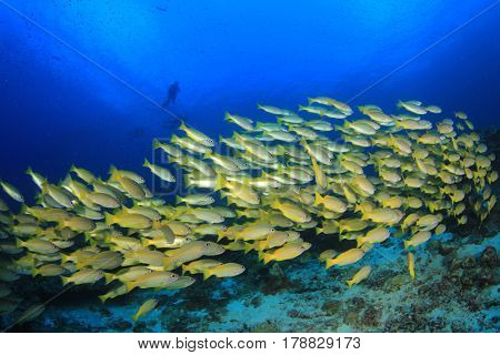 Yellow school of snapper fish in blue ocean with scuba divers