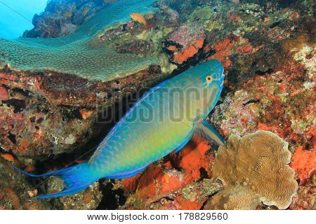 Parrotfish. Fish on coral reef