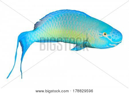 Tropical fish isolated on white background: Steephead Parrotfish