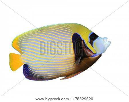 Emperor Angelfish, tropical fish isolated on white background