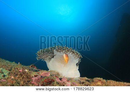 Anemone and Skunk Clownfish Anemonefish