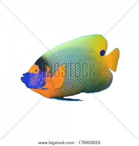 Blue-face Angelfish isolated. Tropical reef fish on white background