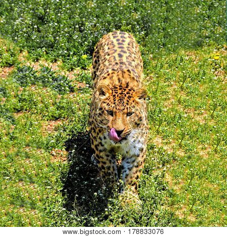 Leopard - species of carnivorous mammal of the cat family, the genus Panther related to the subfamily of big cats.