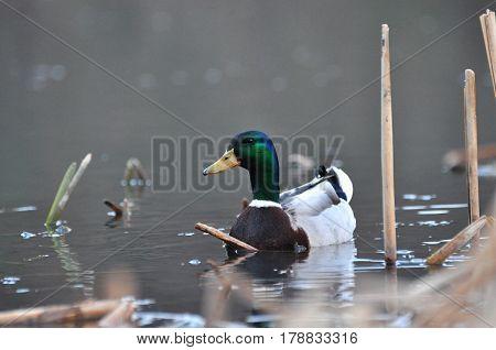 Duck - Mallard (Male), mallard, eurasian wild duck, Anas platyrhynchos
