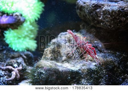 Small striped shrimp in aquarium