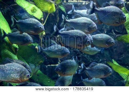 Exotic piranha fish in aquarium
