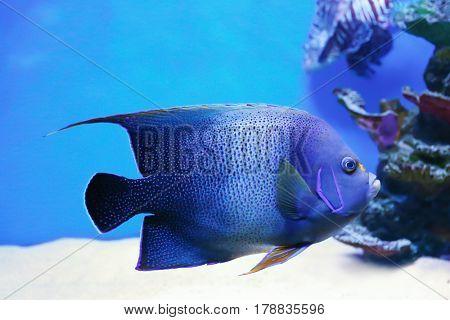 Exotic sea fish in aquarium