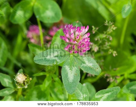 Flowers and leaves of Red Clover Trifolium pratense with bokeh background macro selective focus shallow DOF.